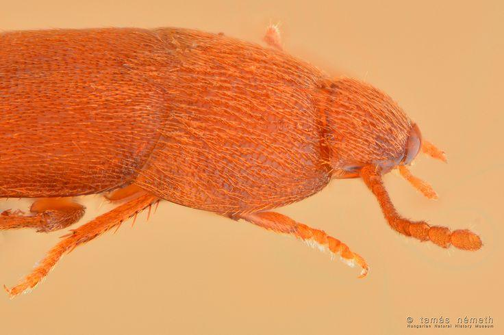 Kisemlősök szőrében és fészkében előforduló egérbogár (Leptinus testaceus). Szeme nincs, testhossza nem egészen 2 mm