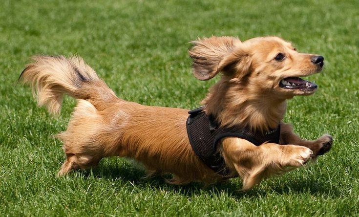 Dachshund (Miniature Long Haired) 15 Interesting Facts