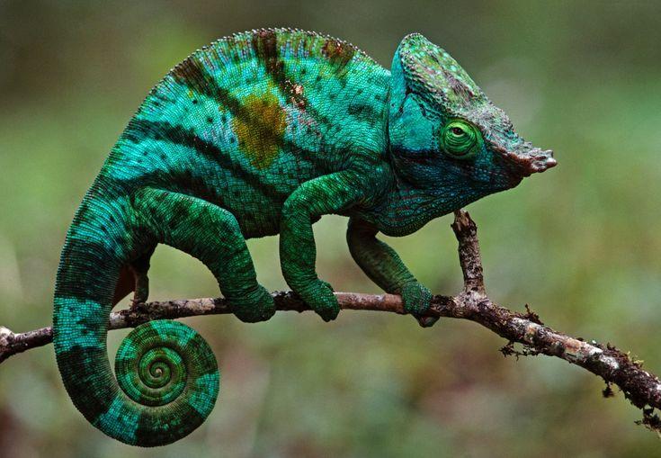 Fiel à raça, camaleão-de-Parson muda de cor - não para se proteger, mas para refletir seu humor, temperatura ou vontade de se comunicar com outros camaleões