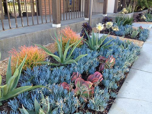 Drought tolerant succulent landscaping including Aeoniums