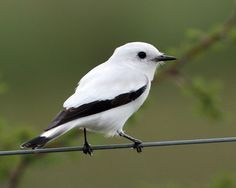 White Monjita; tyrant flycatcher family - found in Brazil, Paraguay, Bolivia, and Uruguay.