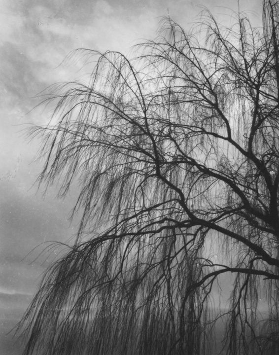 Olive Cotton (1911-2003) Willows, 1985