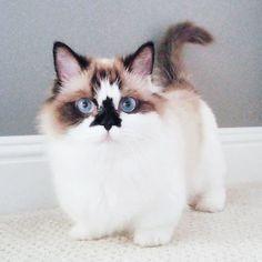 Er ist eine Instagram-berühmte Munchkin-Katze mit wunderschönen blauen Augen und …   – Katzen