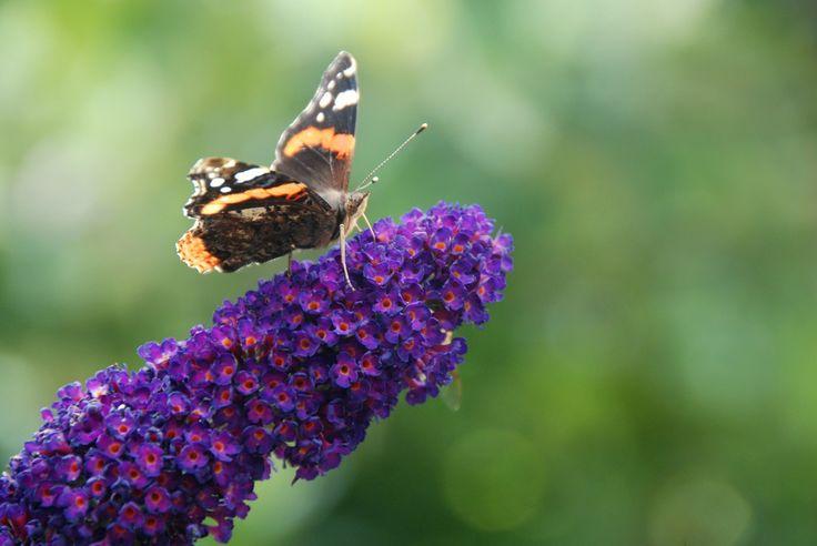 vlinderplant