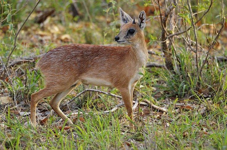 Sharpe's or northern grysbok (Raphicerus sharpei)