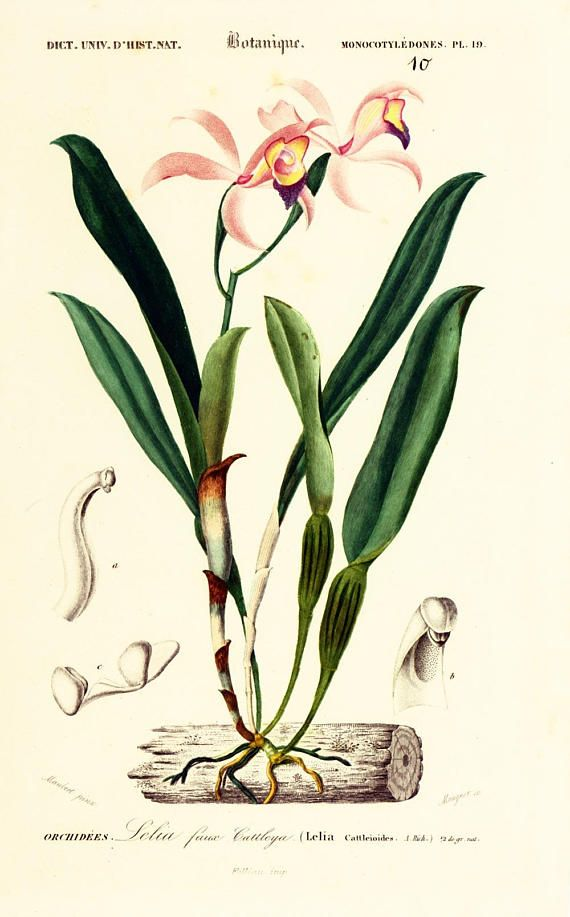GENUINE 1800s copper engraving. Lelia faux #cattleya (Lelia cattleioides)  This print is taken from the Dictionnaire Universel d'Histoire Naturelle, a publication directed b... #orbigny