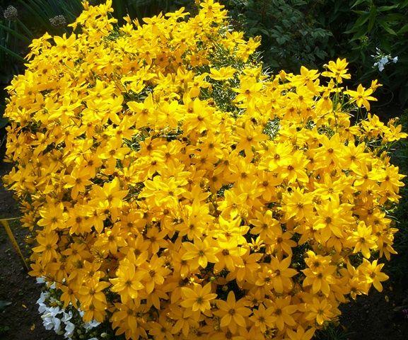 Krásnoočko přeslenité - Cereopsis verticillata :: LEVNE ROSTLINY . CZ
