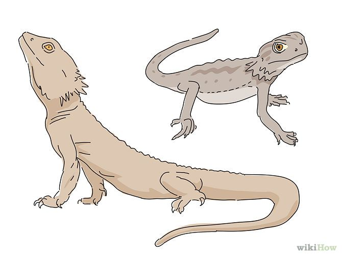 How to Care for Bearded Dragons: 12 Steps (with Pictures)