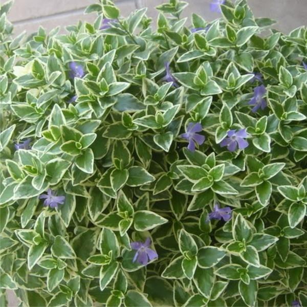 Vinca Major - variegated ( periwinkle)