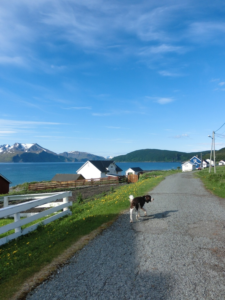 Billy out and about on a lovely  summer morning on the island of Loppa, Northern Norway