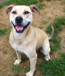 URGENT Page County Shelter - Tristan is an adoptable Pit Bull Terrier Dog in Fredericksburg, VA. You can fill out an adoption application online on our official website. Click HERE for our online appl...