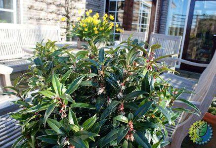 De nieuwste, zoete buxus heeft de mooie naam Sarcococca Winter Gem, winterjuweel, gekregen. Van februari tot april is de hele struik overdekt met zuiver witte bloemen die sterk zoet geuren. Heeft glanzend, wintergroen blad.  Wordt als goed vertakt en zeer bossig struikje aangeboden. Hoogte wordt 50-75 cm Niet vatbaar voor ziekten en vraagt nauwelijks verzorging. Groeit zowel in de zon als in de schaduw en in elke grondsoort.