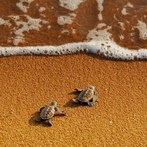 run to the seaLife, Nature, Ocean, Adorable, Things, Beach, Baby Turtles, Animal, Baby Sea Turtles