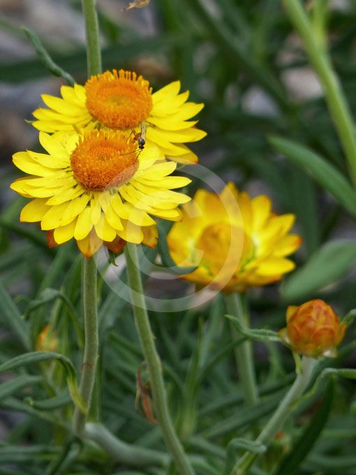 Xerochrysum viscosum is a flowering plant in the family Asteraceae, native to Australia, growing in Victoria and New South Wales. It is a sticky everlasting erect viscid herb. It is usually annual, though sometimes perennial, mainly flowers in spring and summer