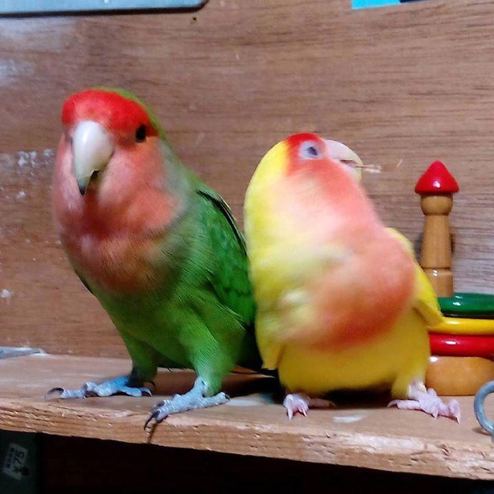 Repost a new photo taken by team_lovebird! わさび #wasabi からし #karashi きょうの わさから/2 でこうなりました #コザクラインコ #わさび #からし #鳥様 #わさから #ラブバード #コンパニオンバード #鳥様広場 #ラブラブ #Agapornis #Bird #ふわもこ部 #IGersJP http://ift.tt/1QSgHWY #searchinstagram #instagramsearch http://goo.gl/bH29do - http://ift.tt/1Myc4xw