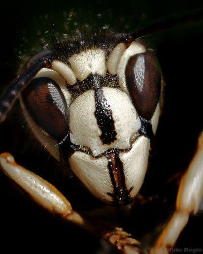 Bald-faced hornet / Guèpe à taches blanches, por ric Bégin