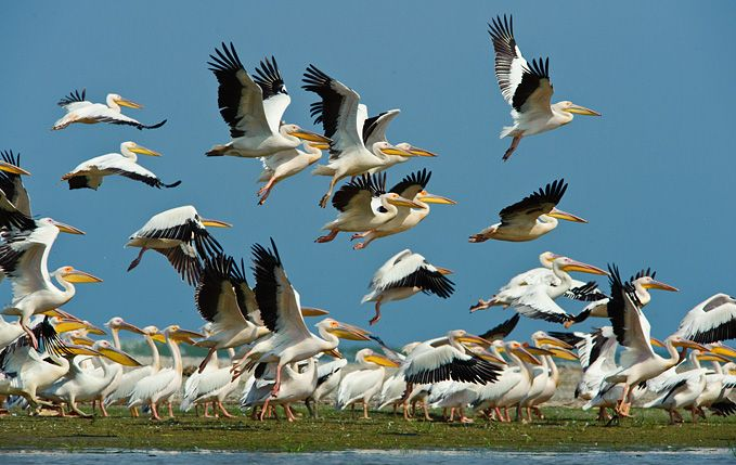 White pelicans colony in the Danube Delta
