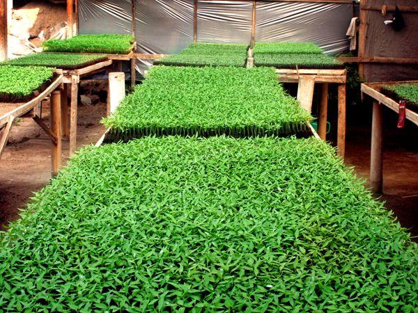 Pembibitan (ndeder, Jawa) sangat penting dilakukan untuk memastikan bahwa benih yang akan ditanam sehat dan tidak cacat. Selain itu, pembibitan ini juga sangat membantu mempercepat pertumbuhan tanaman ketika nantinya dipindahkan dalam lahan utama.