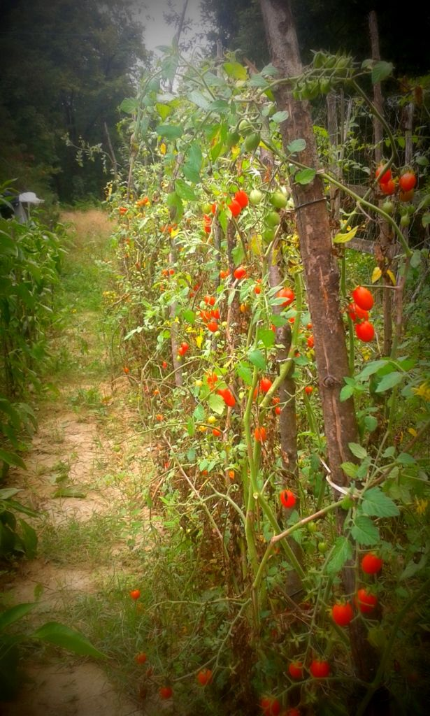 #small #tomatoes #vegetablegarden #home #countrylife #italy
