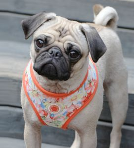 "Puppia ""Spring Garden Floral"" Choke-Free, Step-in Harness Vest Jacket in Orange Floral"