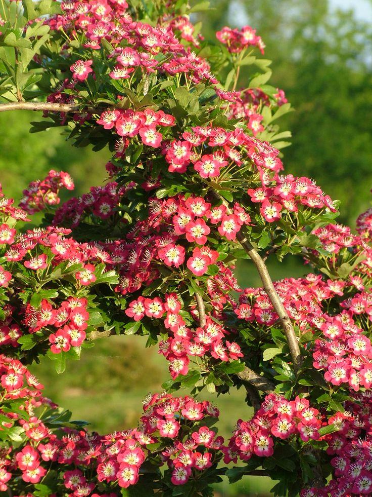 127 best arbres images on pinterest arbre caduc arbres et arbres d 39 ombrage - Arbres a fleurs rouges ...