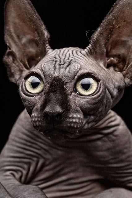 fabforgottennobility:  Sphynx cat by Patrick Matte on Flickr. OK, no more ugly cat contests. This guy's gonna win hands down for the rest of his life! I don't think I could ever smooch this cat. Could you?