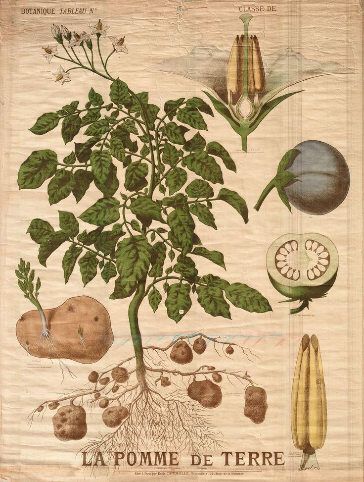 La pomme de terre - Deyrolle