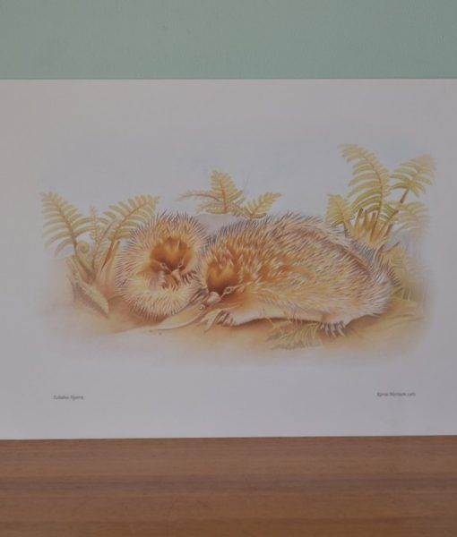 Vintage print Kerrie Mortison 1981 Possum Australiana