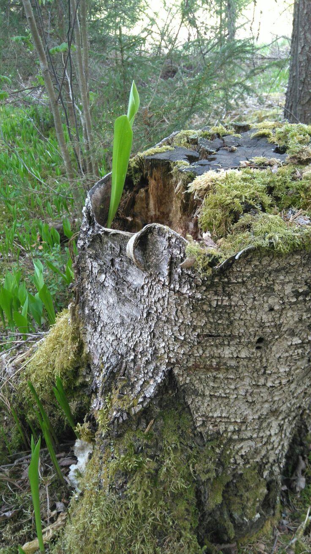 Kevättä metsässä, kannon kiertokulku.