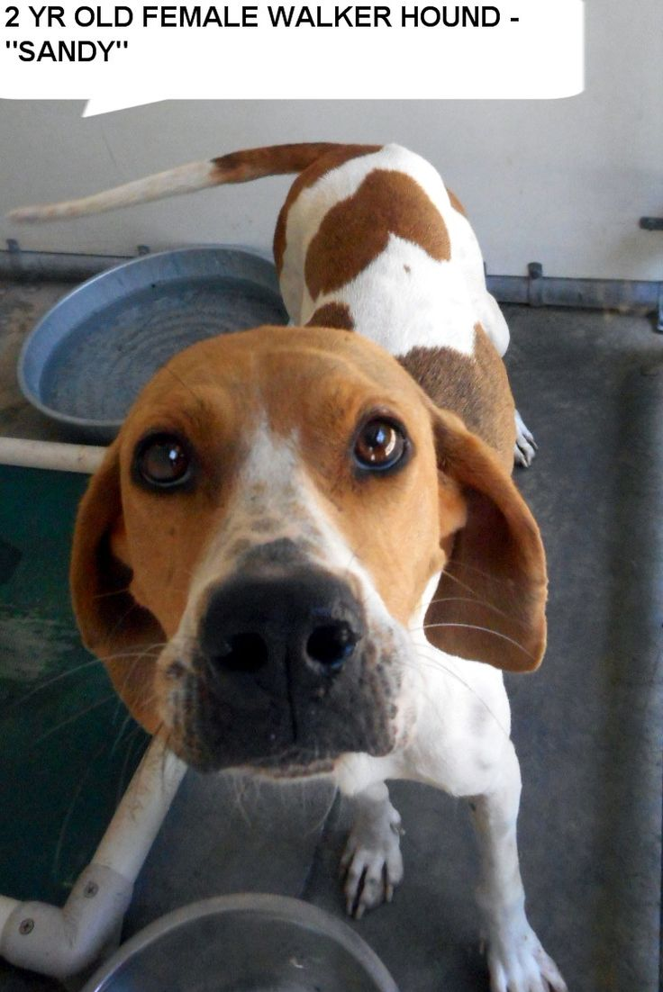 Sandy is a 2 yr old walker hound girl  who would love hang out with you.  She needs to get out of the shelter and be someones special dog. Please don