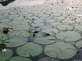 #Arnhem land #Water lillies. Check out our collection of photos of amazing Arnhem land. www.monashgroup.com.au