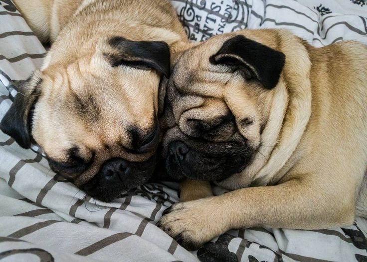 """After all there's only just the two of us"" #mauricethepug #bubble #monday #lazy #lazymonday #queenb #sleep #puglife #pugchat #pugstory #love #dream #dog #pug #mops #tirgumures #romania #dreamer #ozzyosbourne #rockmusic #rockfm #rock #twoofus"
