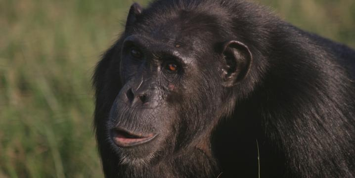 3chimps - Hominoid Psychology Research Group | Conduct the majority of the research in the African sanctuaries Lola ya Bonobo and Tchimpounga Chimpanzee Sanctuary, actively involved in research promoting the conservation and welfare of nonhuman apes in the Congo Basin.