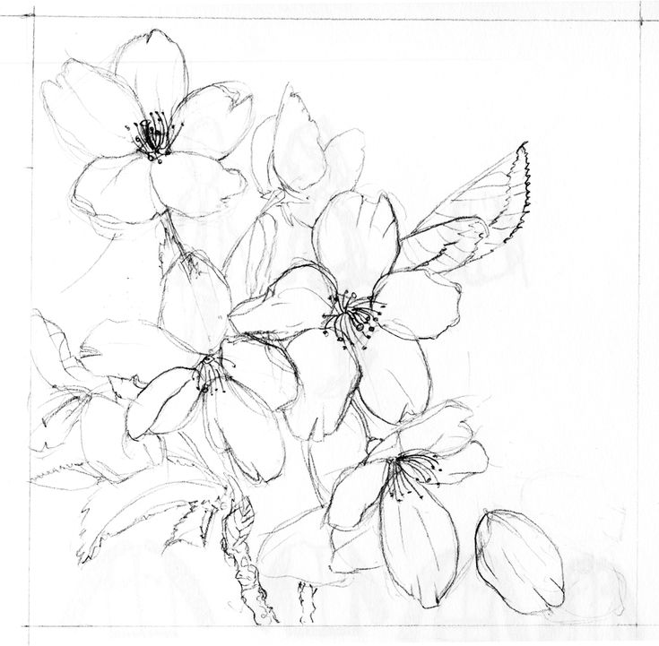 Blossom Flower Line Drawing : Cherry blossom flower drawings google search floral
