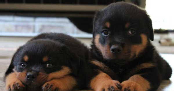 Dogspuppiesforsalecom liked | GERMAN ROTTWEILER BREEDERS ROTTWEILER PUPPIES FOR SALE Getting a dog or a puppy as a new addition to your family is an excellent decision! You're adding another member that can provide lots of love and enjoyment! This is a relationship you'd want to make sure that you're doing right the first time around. You'll need to find out what makes your dog happy what are the things to look out for and basically how to give them a long and fulfilling life. This is what…