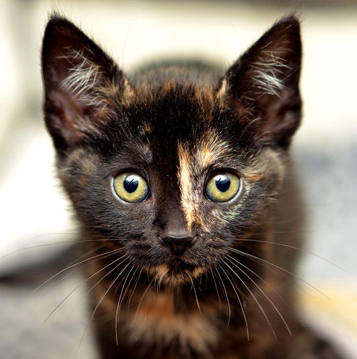 223 best Animals - Tortoiseshell Cats images on Pinterest ...