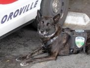 Oroville police land protection vests for police dogs via Boston nonprofit - Oroville Mercury Register