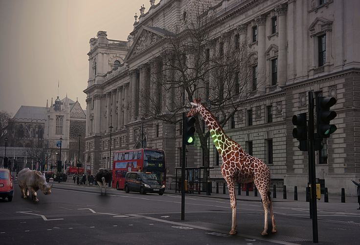 #animals #wild #escaped #London #colchesterzoo #city #Westminster #bus #taxi #ostrich #giraffe #rhino #trafficlights #road #street