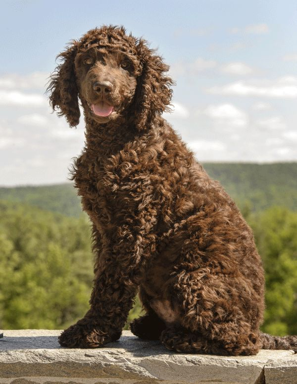 "Meet the Irish Water Spaniel: A Water-Loving ""Irishtocrat"" - Dogster"
