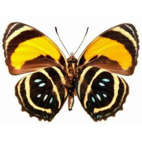 Vlinders :: Callicore aegina (onderkant)