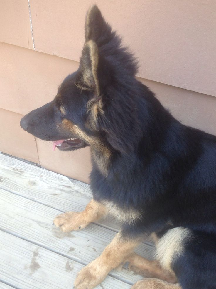 Therapy Dogs For Sale In Ga