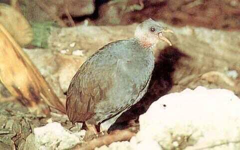 National Bird called the Malau