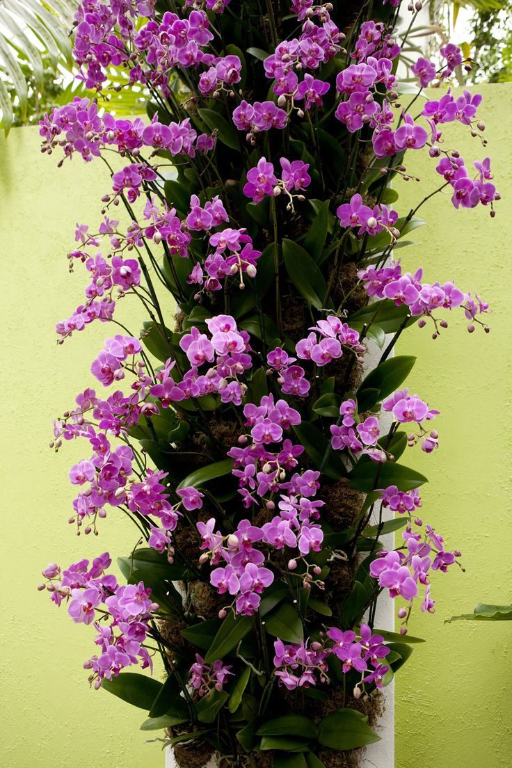 coming orchid