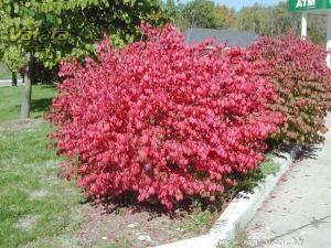 Törpe szárnyas kecskerágó, őszi lombszíne vörös - 1500 Ft