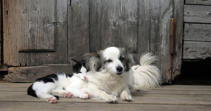 Endocrinologia canina e felina. Endocrinologia é o estudo dos hormônios e de seu equilíbrio dentro do corpo do cão ou gato. Às vezes, há um desequilíbrio de hormônios essenciais, que pode resultar em várias doenças. O sistema endócrino inclui o hipotálamo, glândula pituitária, tiroide, paratiroides, supra-renais, parte do sistema digestivo, pâncreas, rins, fígado, ovários e ...