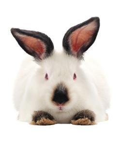 Californian Rabbit care sheet, owner experiences, tips, stories, photos, videos. Owners share the good, the bad, and the smelly about the Californian Rabbit.