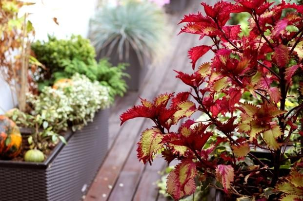 Wiele roślin, które w sezonie zdobią nasze balkony, niestety nie przezimuje na zewnątrz