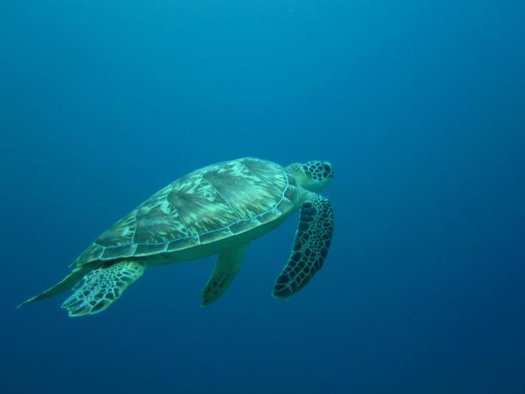 swimming turtle-Diversia Diving Gili Trawangan Lombok Indonesia
