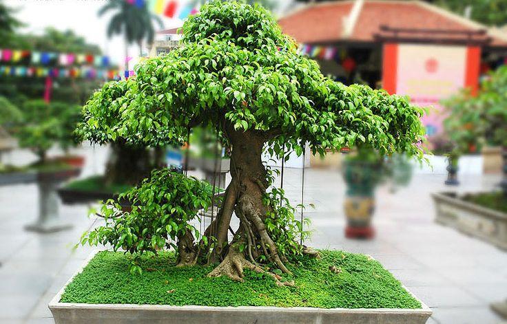 Les 25 meilleures id es de la cat gorie bonsai ficus sur pinterest bonsa jardin bonsa s et Jardin japonais bonsai