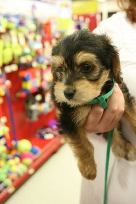 beagle poodle mix. my heart just stopped. @Kathy Mitchell ~ i think you would like this mix!